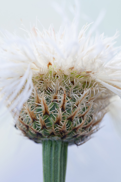 Centaurea americana 'Aloha Blanca' - basket flower