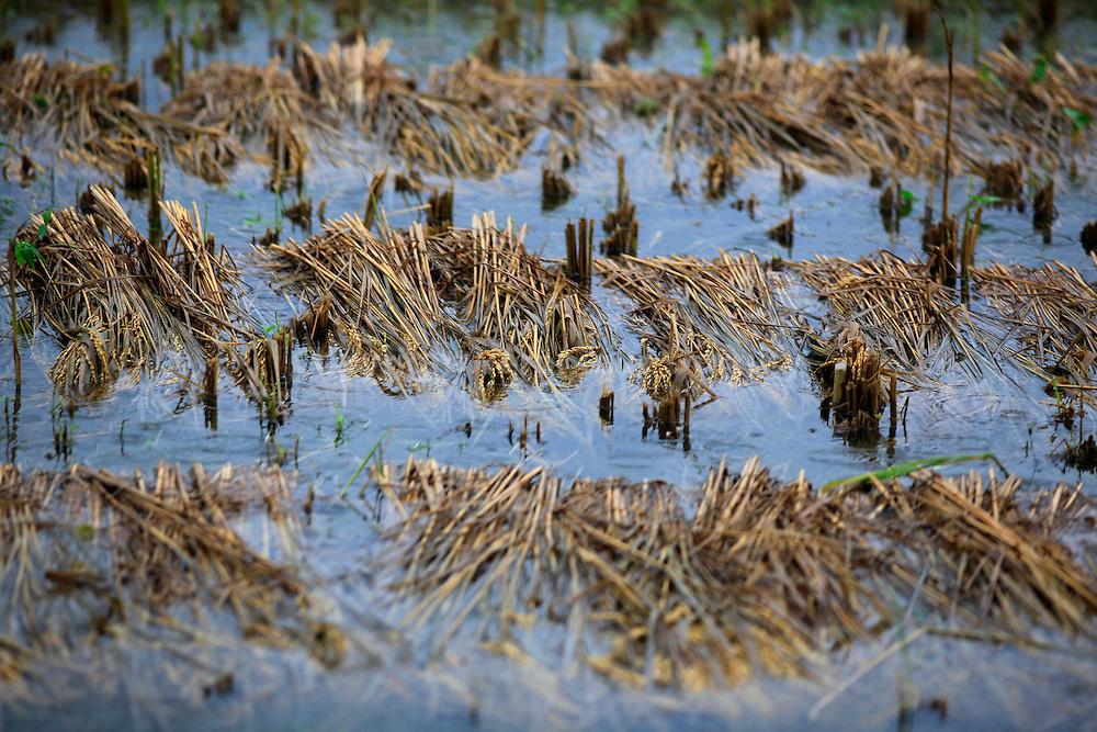Rice in a field, on a monsoon day in the coutnryside in Dinajpur neibourhood, Bangladesh // Riz coupe dans une riziere, un iour de mousson dans la campagne pres de Dinajpur, Bangladesh