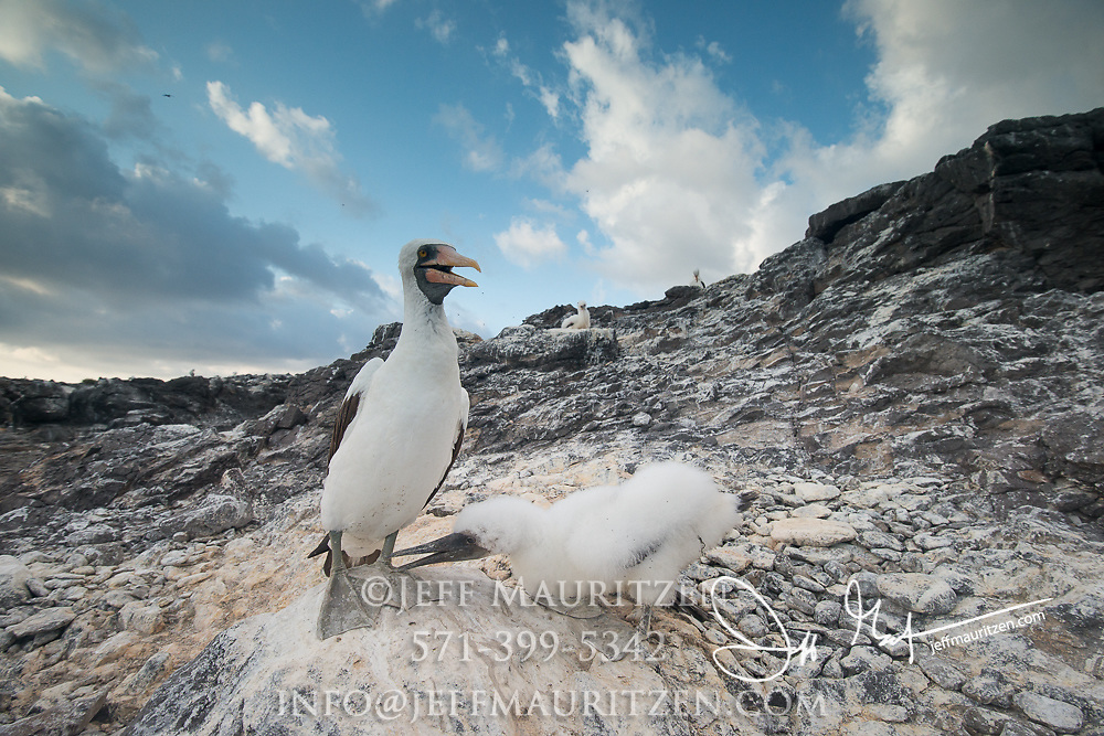An adult and infant Nazca booby on Española island in the Galapagos.