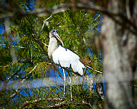 Wood Stork. Winter Nature in Florida Image taken with a Nikon D4 camera and 80-400 mm VRII telephoto zoom lens