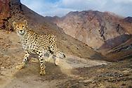 Asiatic cheetah caught by camera trap, Acinonyx jubatus venaticus, Naybandan Wildlife Reserve, Iran