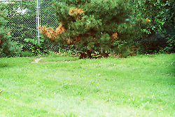 10 June 2001: Miller Park Zoo<br /> Rare Red Wolf<br /> Archive slide, negative and print scans.