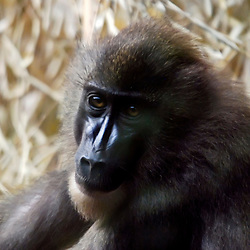 Dril (Mandrillus leucophaeus). Registro feito em 2009. Animal em Cativeiro.<br /> <br /> <br /> ENGLISH: Drill. Picture made in 2009. Captive animal.