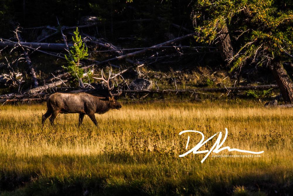 Elk near Madison Junction, Yellowstone