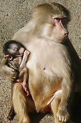 Baboon with Young in Zoo Hagenbeck, Hamburg,  March 5, 2013. Photo by Imago / i-Images...UK ONLY