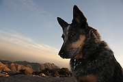 A Queensland Blue Heeler at Windy Point Vista, Mount Lemmon, in the Santa Catalina Mountains, a Sky Island in the Coronado National Forest, Sonoran Desert, Tucson, Arizona, USA.