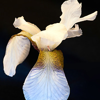 White iris with black background. Hvit iris.