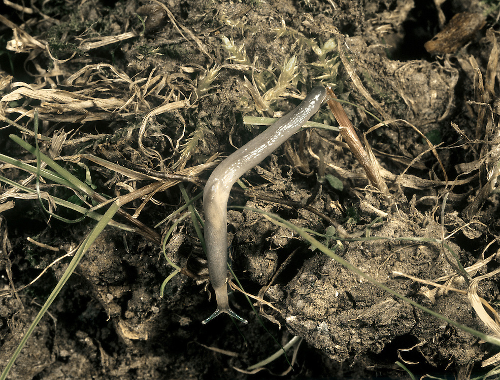 Worm Slug - Boettgerilla pallens