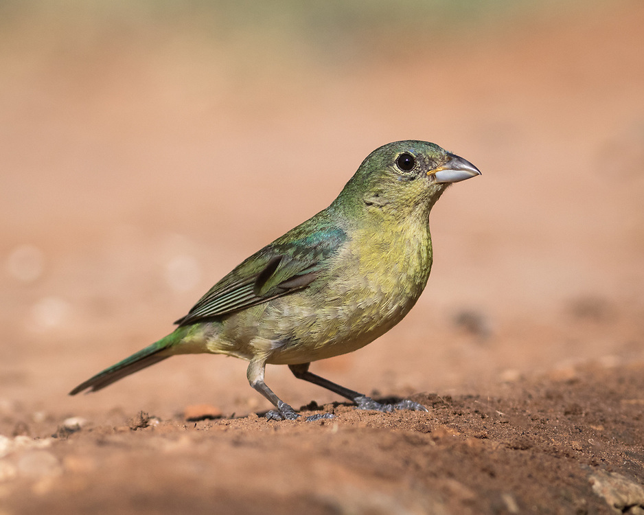 Painted Bunting, young