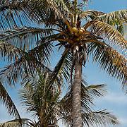 Coconut Palm, Cocos nucifera L., Xiao Liuqiu, Pingtung County, Taiwan
