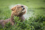 A male lion shakes the water from his mane.  Ngorongoro Crater, Tanzania.