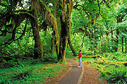 Hiker in the Hall of Mosses, Hoh Rain Forest, Olympic National Park, Washington USA