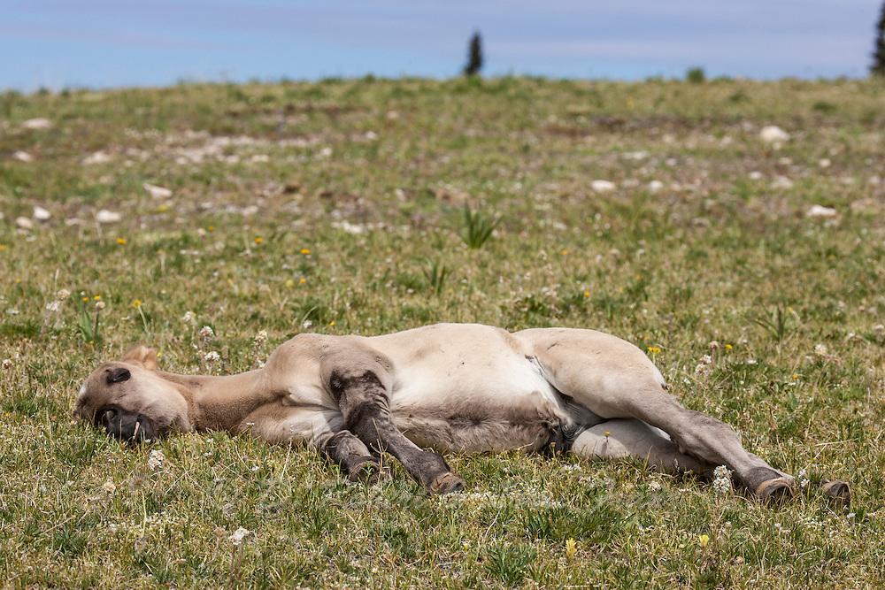 Wild mustang foal lying in wildflowers