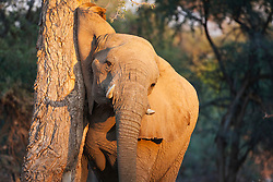 A desert-adapted elephant (Loxodonta africana) rubbing his head on a tree trunk in morning light  ,Skeleton Coast, Namibia, Africa