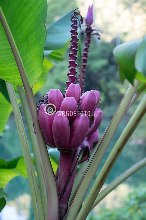 Inhotim, Brumadinho, MG, Brazil. Musa velutina, a banana peluda ou banana rosa, ou banana roxa eh uma especie de banana semeada. Crescem em talos eretos da flor com uma inflorescencia cor-de-rosa / roxa. Eh frequentemente cultivada como uma planta ornamental, mas tem a carne macia, doce que pode ser comida. = Musa velutina, the hairy banana or pink banana, is a species of seeded banana. Its fruits are 3 in (8 cm) long, pink, and fuzzy. They are borne on erect flower stalks with a pink inflorescence. Musa velutina flowers at a young age, doing so within a year. The fruits peel back when ripe. It is often grown as an ornamental plant, but has soft, sweet flesh that can be eaten.