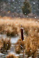 Cats-tail on a snowy day. Sourland Mountain Preserve in New Jersey. Image taken with a Nikon D300 camera and 18-200 mm VR lens (ISO 400, 200 mm, f/5.6, 1/320 sec).