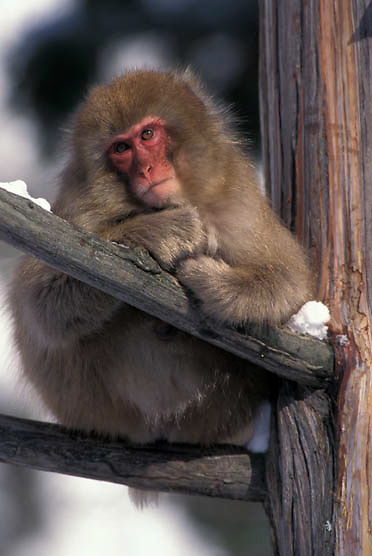 Snow Monkey or Japanese Red-faced Macaque, (Macaca fuscata) In tree. Japan.