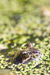 Common frog; covered in duckweed; emerging from an allotment pond,