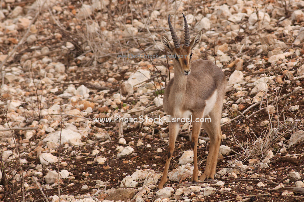 Israeli Mountain Gazelle (Gazella gazella gazella) a subspecies of the common gazelle (Gazella gazella). The Israeli gazella is the most common gazelle in Israel, residing largely in three areas. Its population decreased greatly throughout its natural range in the first part of the 20th century due to poaching and successful breeding of Iranian wolves, but increased thereafter in Israel due to conservation efforts. Photographed in Israel