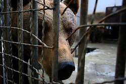 ROMANIA ONESTI 26OCT12 - A Eurasian brown bear pokes his nose through the rusty bars of its cage at the Onesti zoo.....The zoo has been shut down due to non-adherence with EU regulations on the welfare of animals...The bear was rescued from the decrepit Onesti Zoo where it lived for 8 years in degrading conditions.......jre/Photo by Jiri Rezac / WSPA......© Jiri Rezac 2012