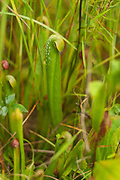 "Found only in North Carolina, South Carolina, Georgia, and Florida, the hooded pitcher plant is one of the smaller of our native pitcher plants found at the edges of bogs and wet pinelands. Like all carnivorous plants, nectar glands inside the hood and white translucent ""windows"" attract insects where a series of hairs inside the pitcher (a modified leaf) encourages the insect downward into the tube until it cannot turn around and escape. These insects will in turn be dissolved and deliver the essential nutrients that are needed in such a plant that grows in such nutrient-poor soils. This one was found and photographed during the summer rains in the Osceola National Forest in North Florida."