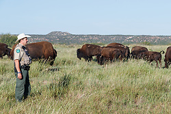 Donald Beard, Herd Manager and Park Superintendent, monitoring bison of Texas State Bison Herd, Caprock Canyons State Park, Quitaque, Texas USA.