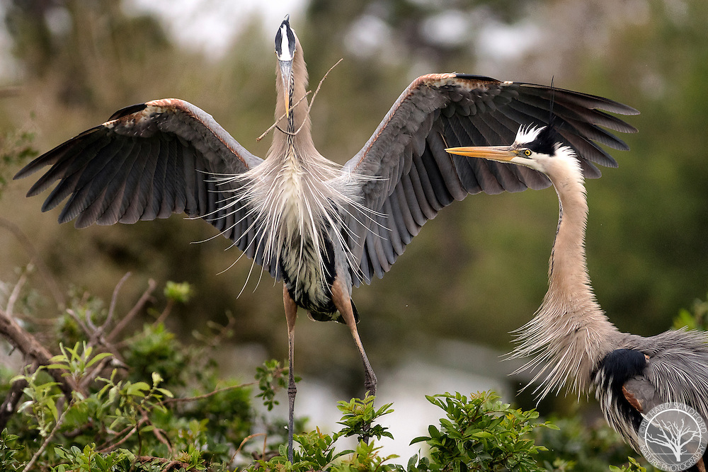 Pair of nesting great blue herons. Adult arrived with additional nest building material for the the other adult to take and add to the nest. Venice Audubon Rookery, Venice, FL.