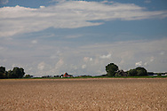 Grain - wheat - in Sexbierum, the North West part of Friesland (North of the Netherlands)..Graan - tarwe - in Sexbierum, in noordwest Friesland.