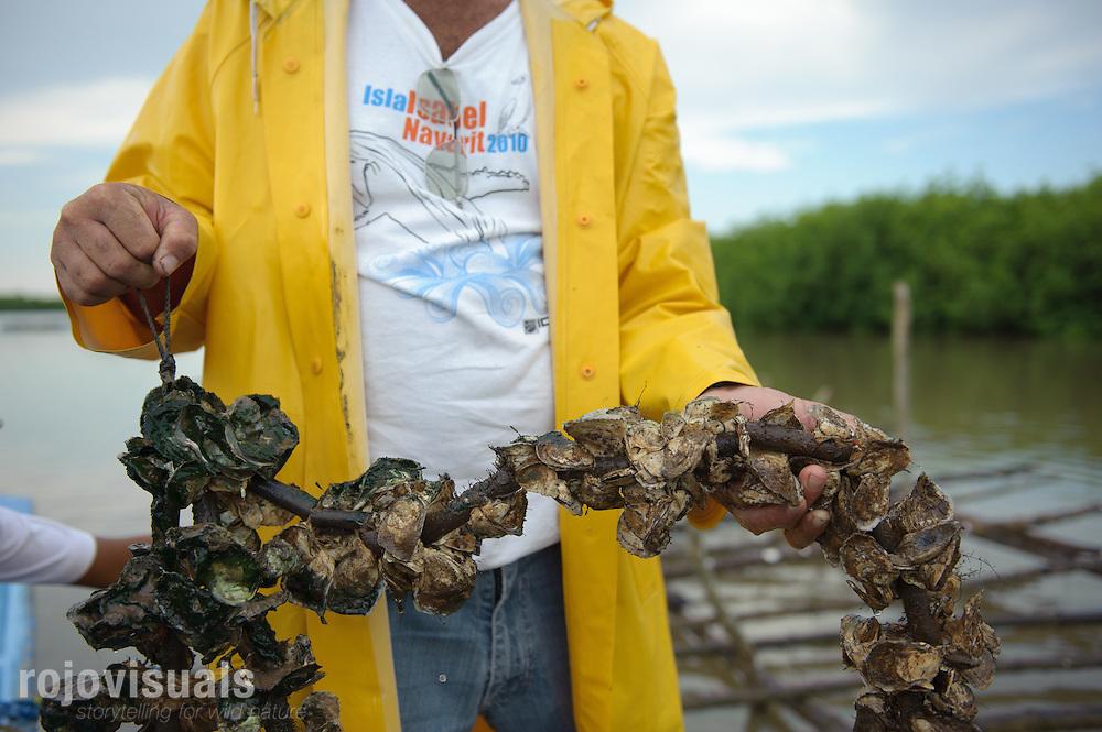 El cultivo del ostión en Boca de Camichín se ha convertido en uno de los motores económicos de la región. Su éxito depende del delicado equilibrio entre el agua dulce del río y el agua salada del mar.