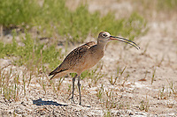 A Long Billed Curlew searches the ground with its bill looking for insects.