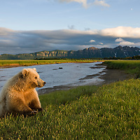 USA, Alaska, Katmai National Park, Brown Bear (Ursus arctos) along banks of small stream in meadow along Hallo Bay at sunset on summer evening