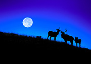 Elk harem in Yellowstone National Park, Wyoming, USA, during super moon.