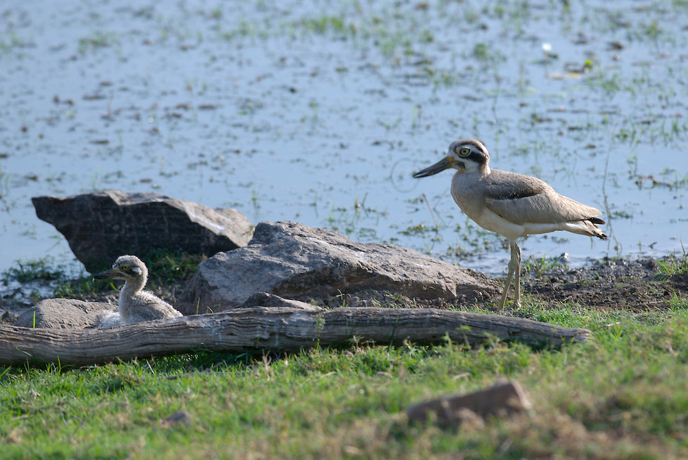 Great Thick-knee at Nest with Chick on the shores of Padam Talao Lake in India's Ranthambhore National Park