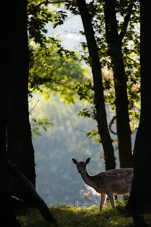 Fallow Deer (Dama dama) standing in forest in backlit scene