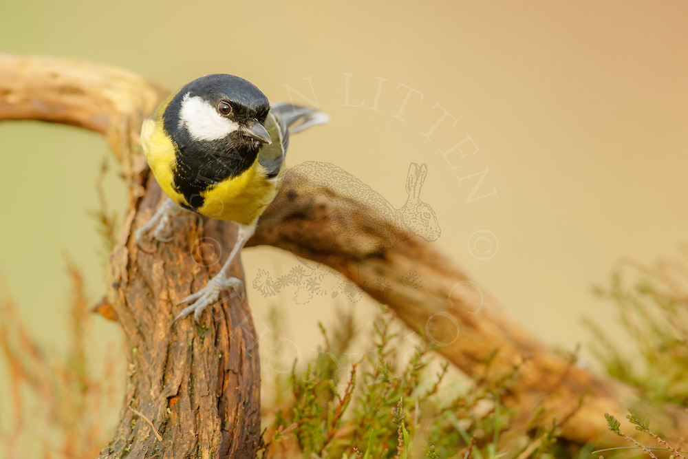 Great Tit (Parus major) adult, perched on fallen branch in heathland, Norfolk, UK.