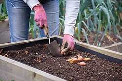 Planting Shallot 'Jermor' sets in a raised bed in autumn. Allium cepa
