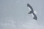 Steller's Sea Eagle in flight in winter on the island of Hokkaido in Japan.