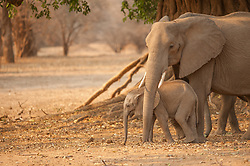 The mother elephant appears stressed, which can be seen by the glands behind the eye secreting fluid. At the end of the dry season, there is not much left to eat, or to feed her calf