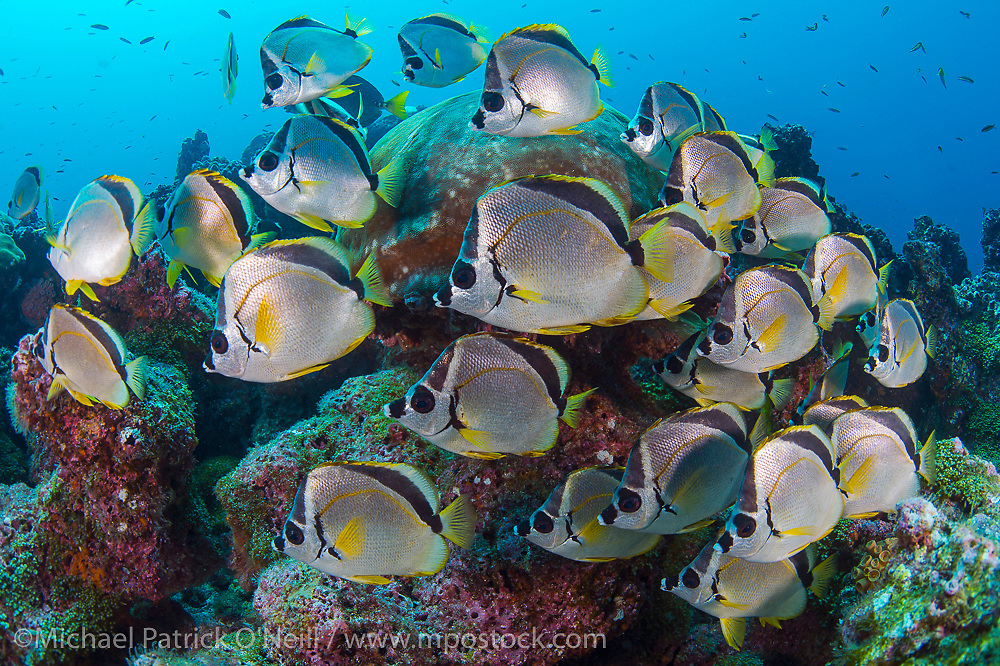 Barberfish, Johnrandallia nigrirostris, school near a coral head near Darwin Island, Galapagos, Ecuador. This species of butterflyfish clean Scalloped Hammerheads and other pelagic fish.