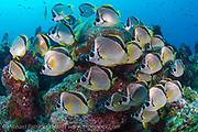 Barberfish, Johnrandallia nigrirostris, school near a coral head near Darwin Island, Galapagos, Ecuador. This species of butterflyfish clean Scalloped Hammerheads and other pelagic fish.