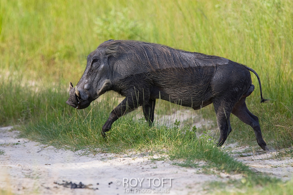 Portrait of a warthog walking through the grass and sand, Botswana.