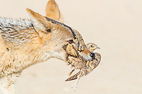 Black-backed Jackal hunting sandgrouse, Kgalagadi Tranfrontier Park, Northern Cape, South Africa