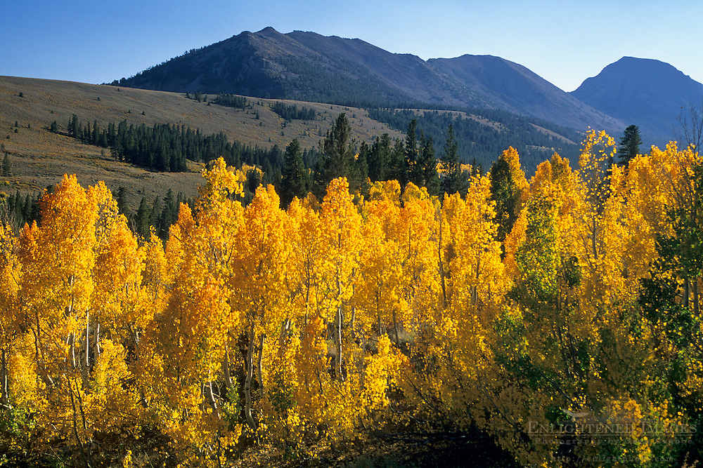 Fall colors on aspen trees along Virginia Creek, Eastern Sierra Mono County, CALIFORNIA