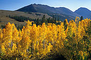 Fall colors on aspen trees along Virginia Creek, Eastern Sierra Mono County, CALIFORNIA