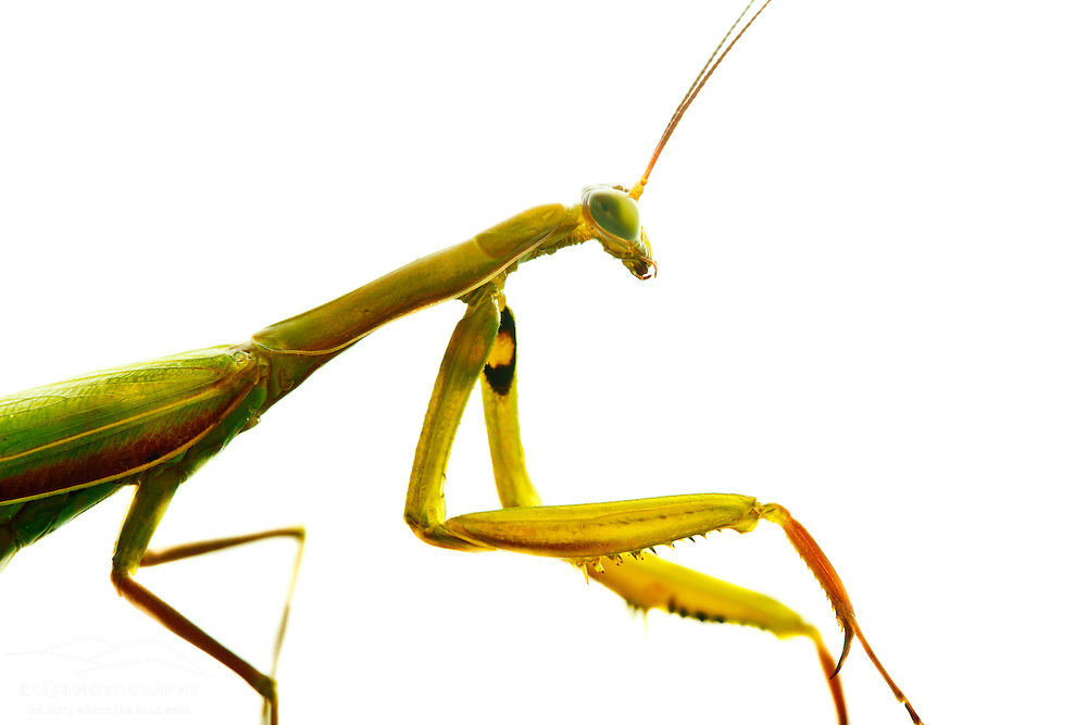 Praying mantis, Mantis religiosa. Seacoast Science Center, Rye, NH.
