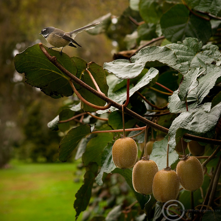 Fruit on Vine with fantail bird