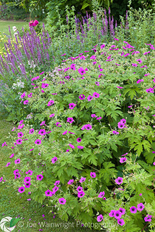 Geraniums and Salvia in a herbaceous border at Bluebell Cottage Gardens, Cheshire - photographed in July