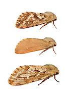 Map-winged Swift - Korscheltellus fusconebulosa<br /> 3.003 BF18