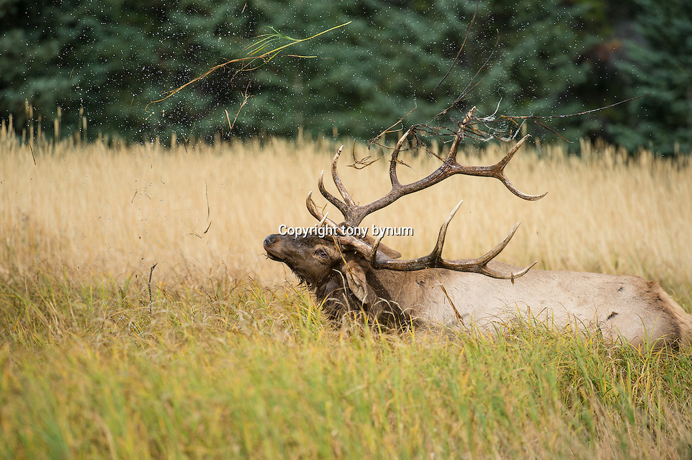 bull elk in grassy marsh flipping water and grass in the air