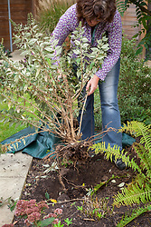 Moving a shrub (buddleia)